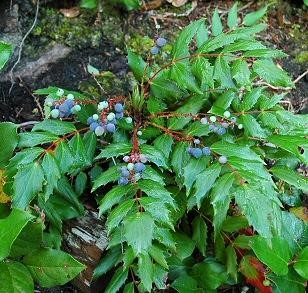 Mahonia nervosa , with  Gaultheria shallon  leaves at bottom of photo (photo from Washington Native Plant Society)