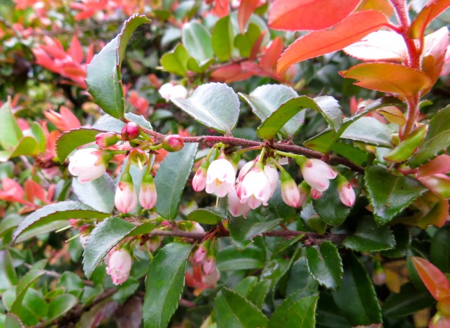 Not Just Japanese Plants Part I Pacific Northwest Native Shrubs
