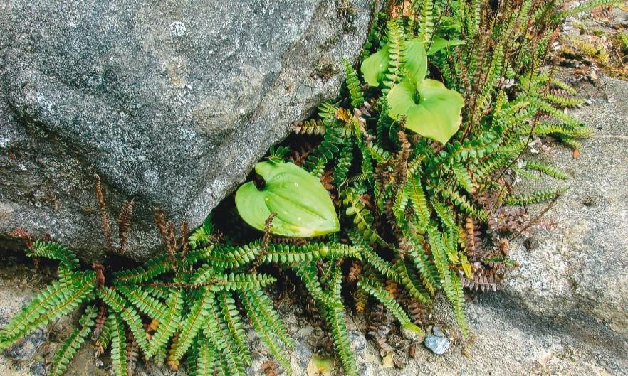 Maidenhair Spleenwort (photo by Kathleen Smith, 2007)