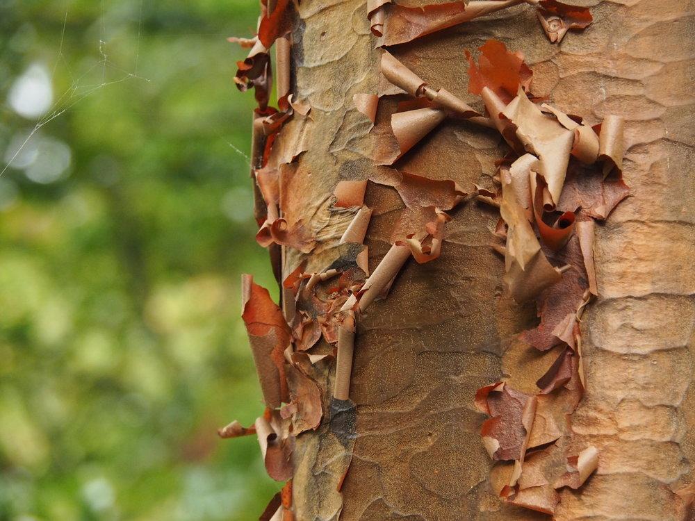 Paperbark maple ( Acer griseum )
