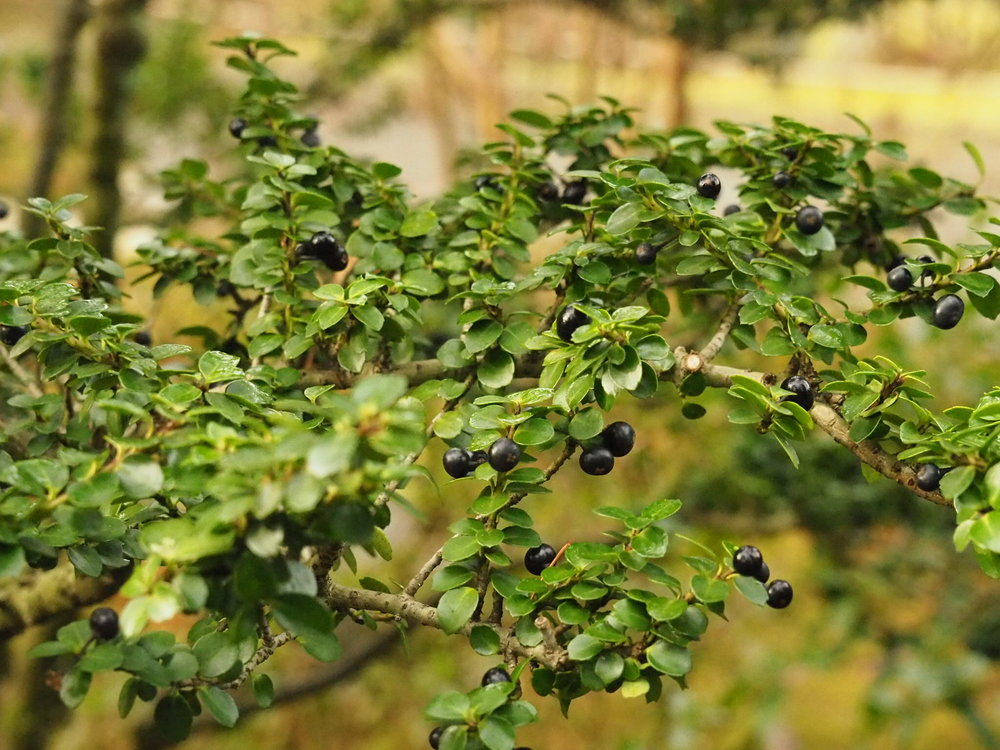 "Foliage and berries of  Ilex crenata  'Mariesii"" (photo by Chie Iida)"