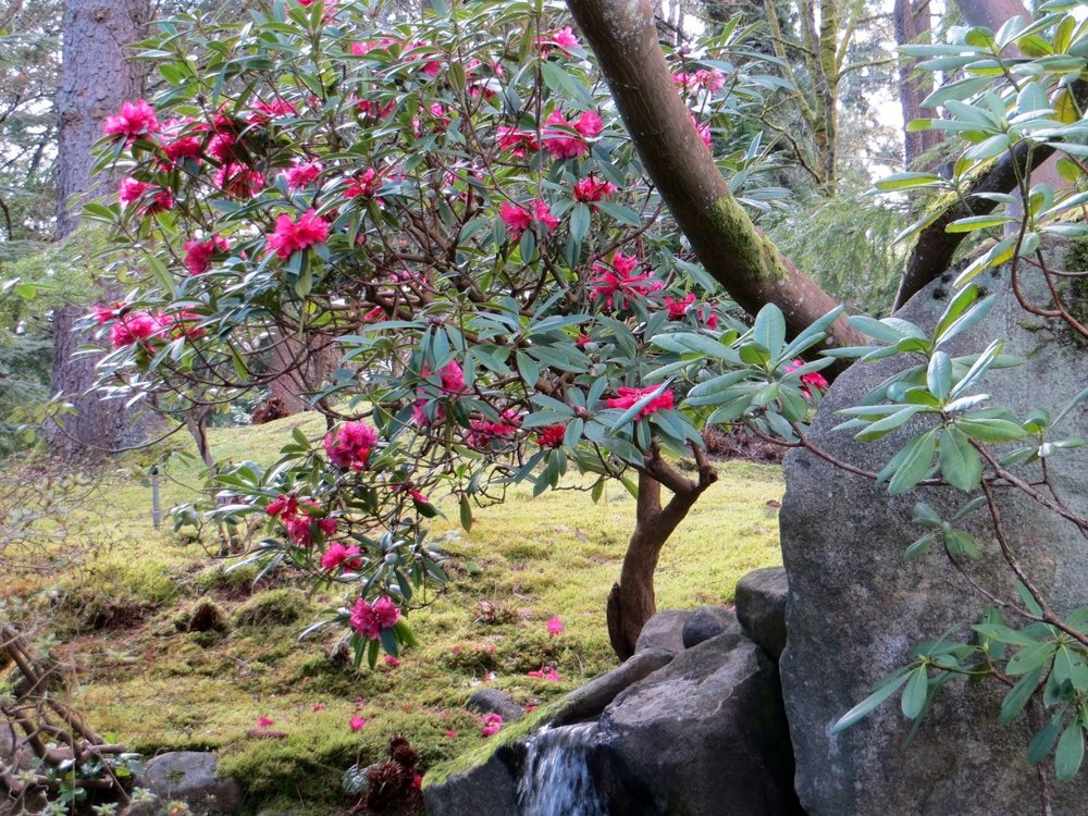 The early-flowering rhododendron behind the waterfall (photo by Aleks Monk, 3/20/15)