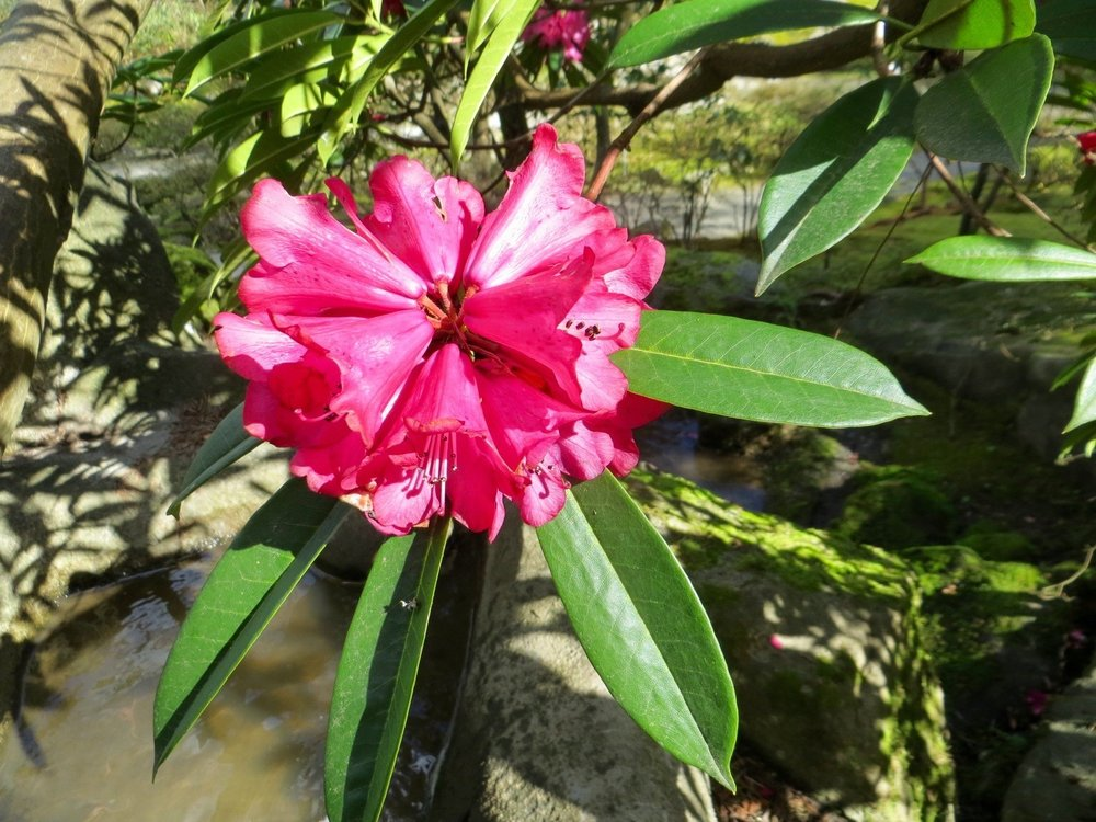 Flower truss of the waterfall rhododendron (photo by Aleks Monk)