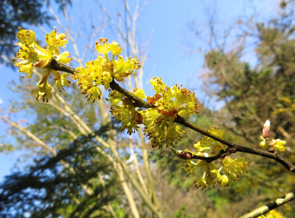 Flowers of  Lindera obtusiloba  (Aleks Monk, 3/21/14)