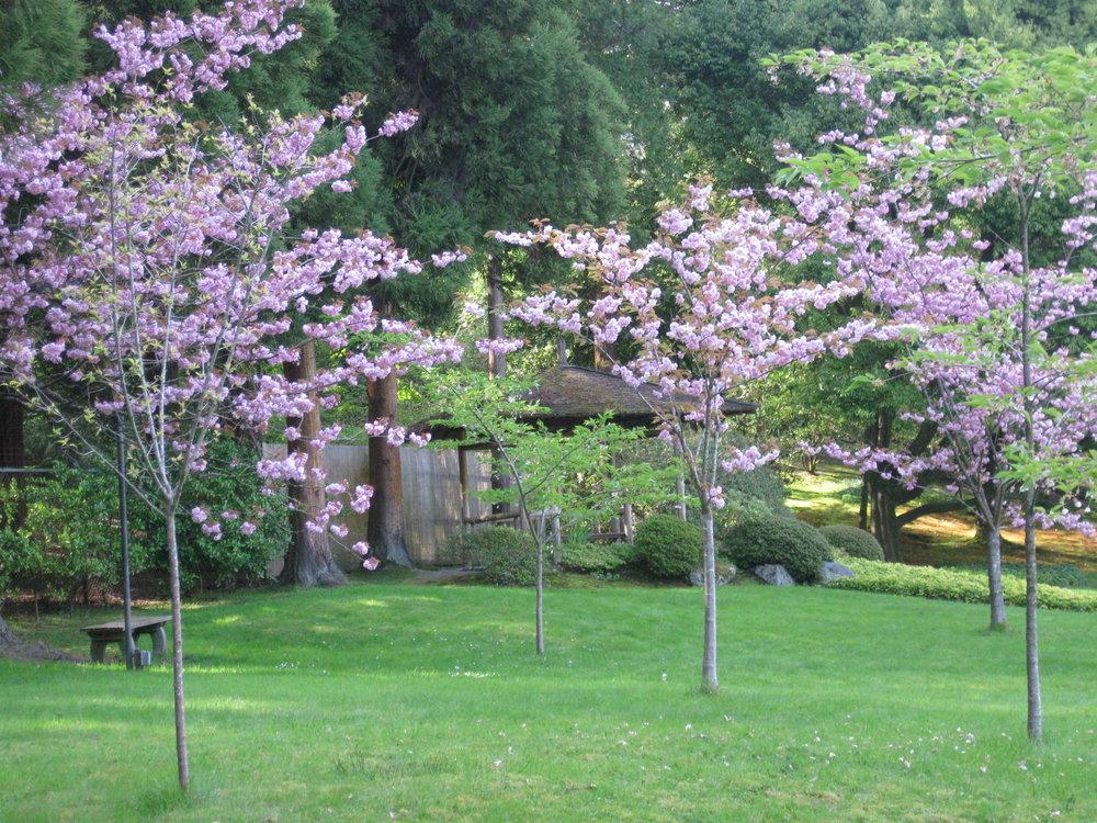 'Kwanzan' flowering cherry (photo by Aleks Monk, 2013)