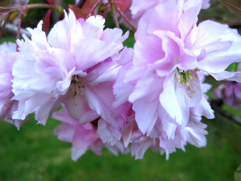 'Kwanzan' flowering cherry, flowers (photo by Aleks Monk, 2013)