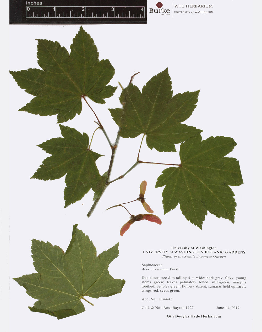 circinatum-7.5x9.jpg