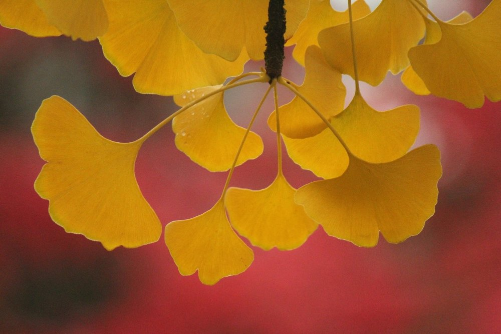 Closeup of Ginkgo foliage in autumn (photo by Mary Ann Cahill, 11/3/12)