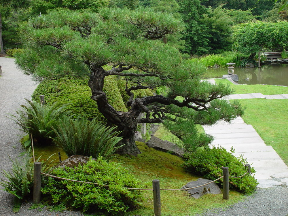 Pinus thunbergii , over 100 years old. It was donated by Richard Yamasaki and moved to the Seattle Japanese Garden in 1993. (photo: Seattle Parks, 2007)