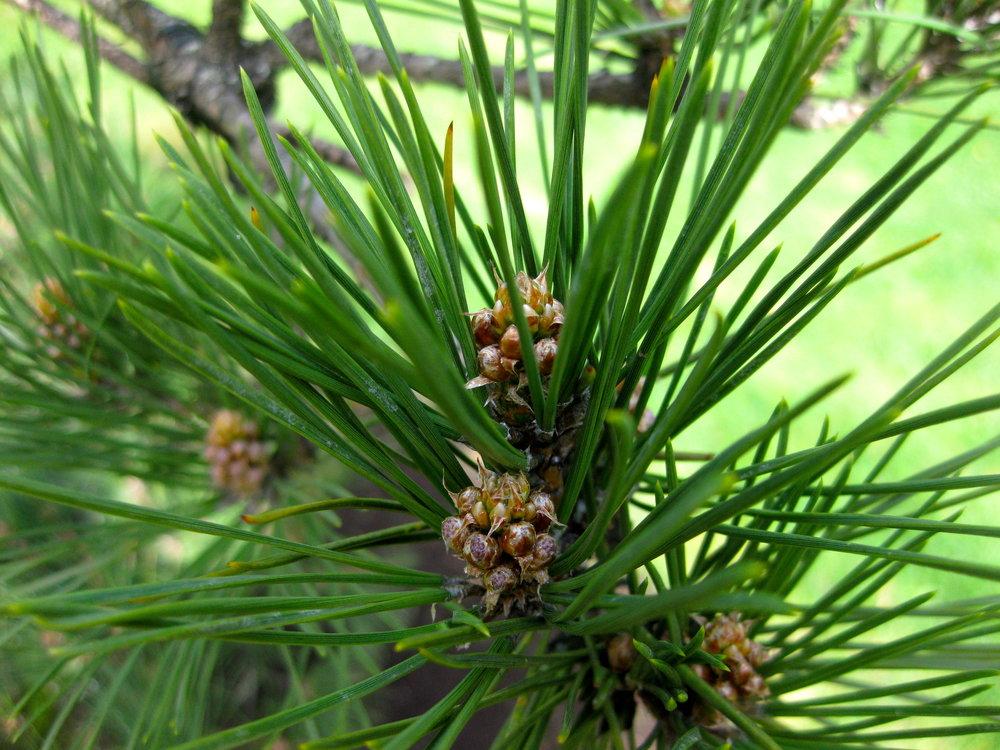 Needles of Japanese black pine. (photo: Aleks Monk)