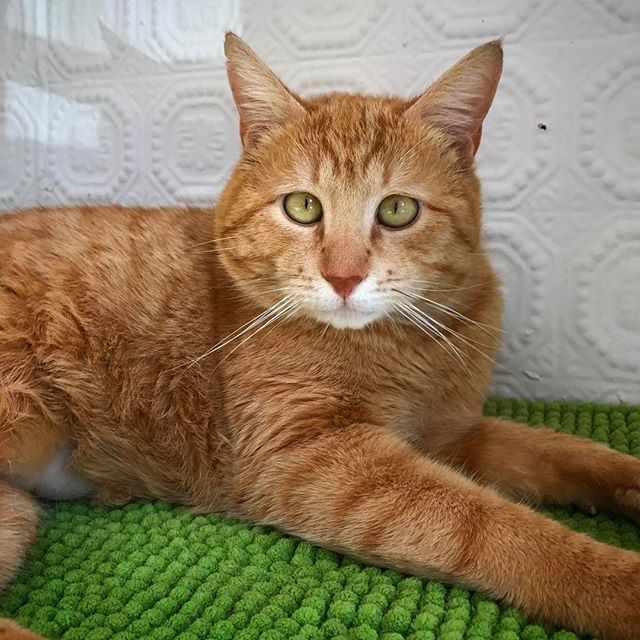 Ben needs a foster home! The girls are not being very nice to him 😼He is a very gentle 2 year old who just wants to chill out and be loved on! #foster #home #wanted #sweet #orange #tabby #brooklyn #nyc #love