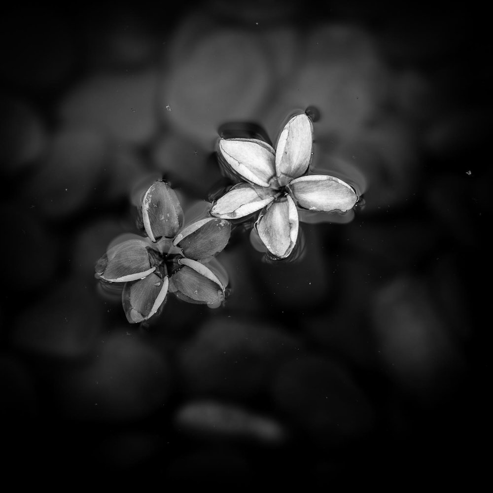 frangipani-two-flowers-tahnia-roberts.jpg