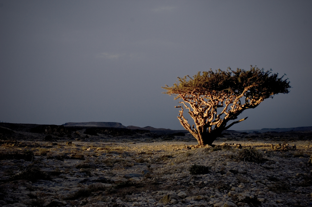 Frankincense Tree at Night.jpg