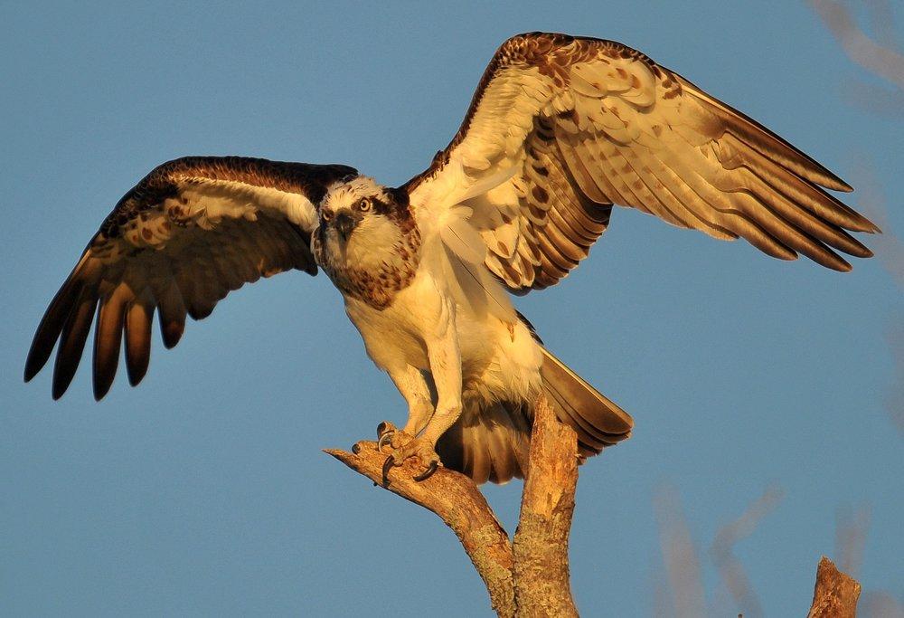 osprey_bk_802_big.jpg