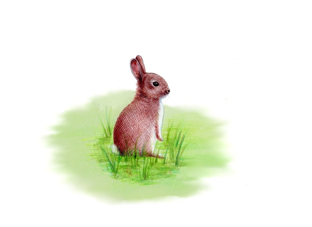 Wild Rabbit illustration