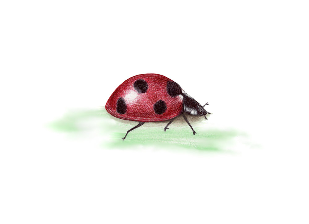 Ladybird illustration