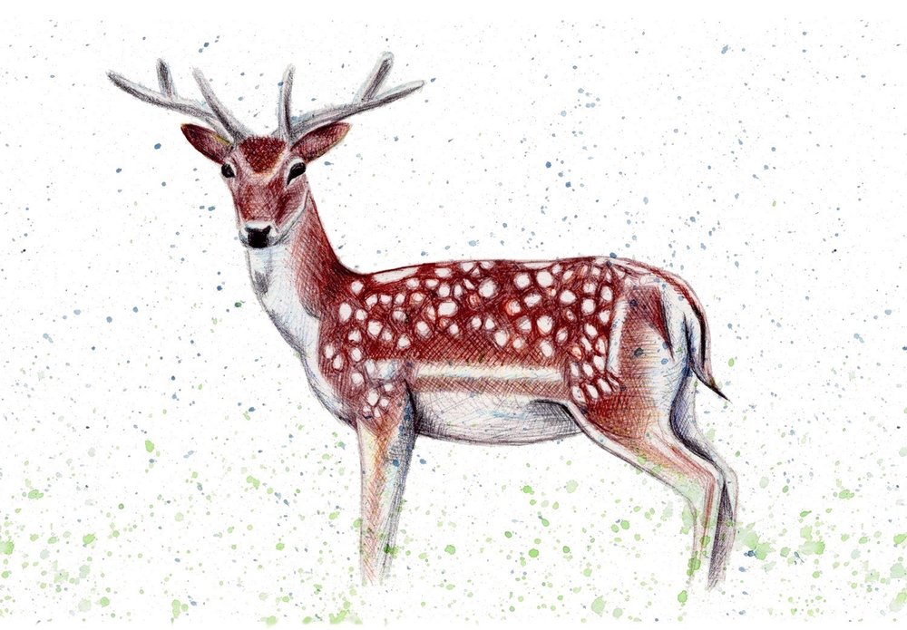 Fallow Deer illustration