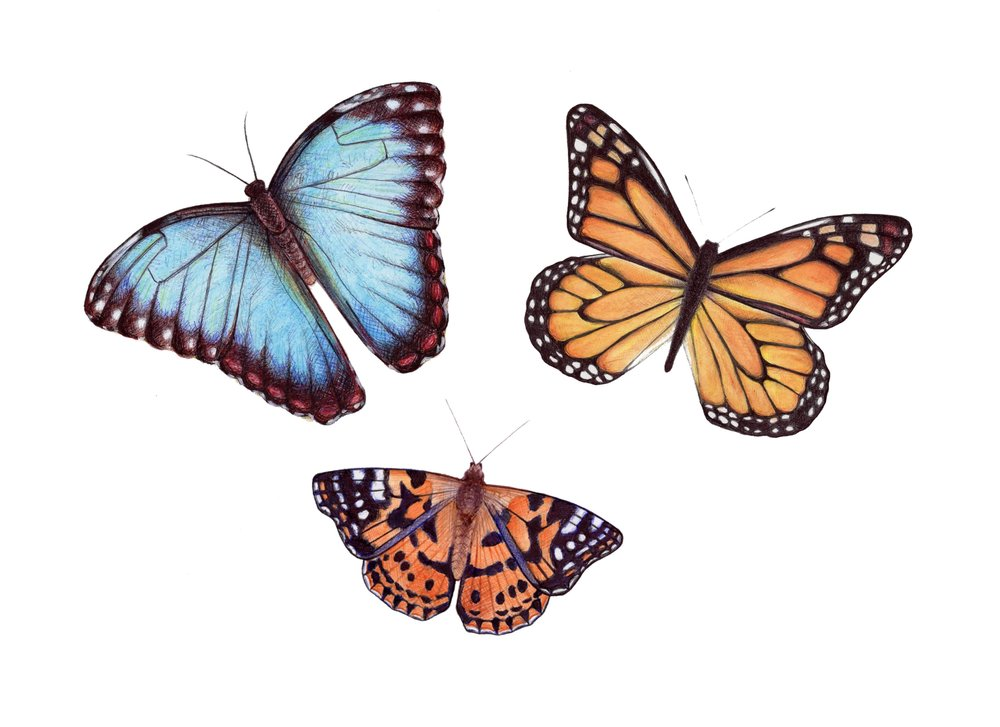 Three Butterflies illustration (Common Morpho, Monarch and Painted Lady)