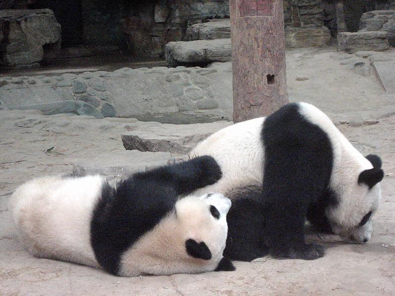 Panda_Bears,_Beijing_Zoo_(5062716585)
