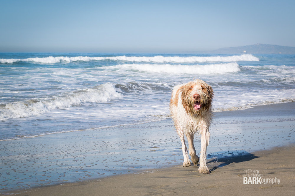 I took this photo at the Huntington Dog Beach in October 2015. I really had no idea what I was doing. I've worked hard in 2016 at learning all I can about photography. I'm attending 2 dog photography workshops in 2017 where I will be surrounded by amazingly talented photographers. I'm so excited to continue learning and to provide dog lovers with beautiful art of their dogs. BARKography Southern California November 2017 is going to be incredible.
