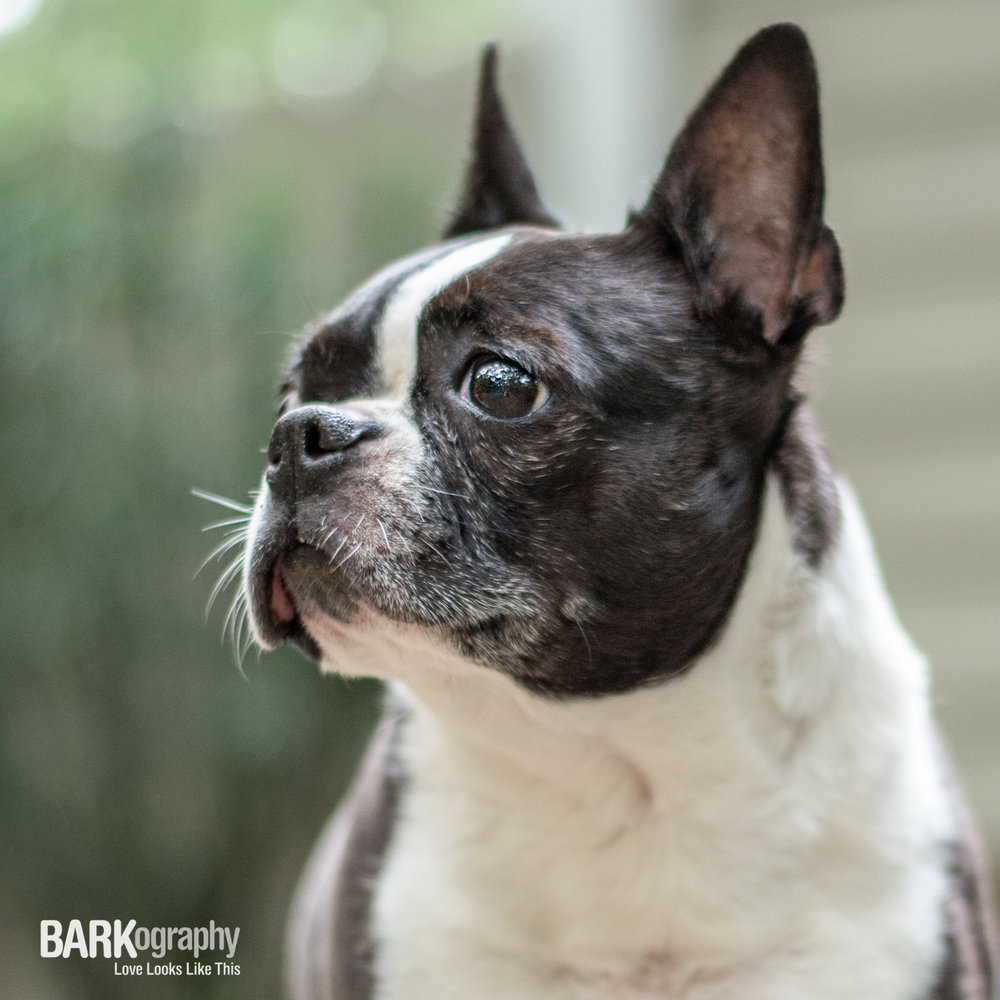 Boston Terrier-2.JPG