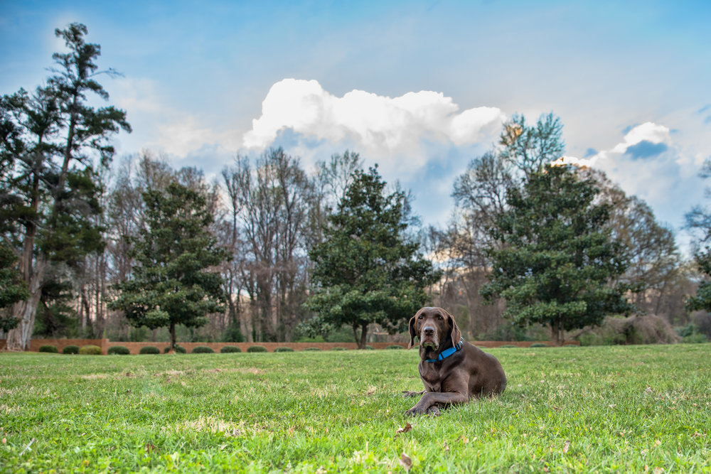 Punchy HDR Photo of chocolate lab Moose.JPG