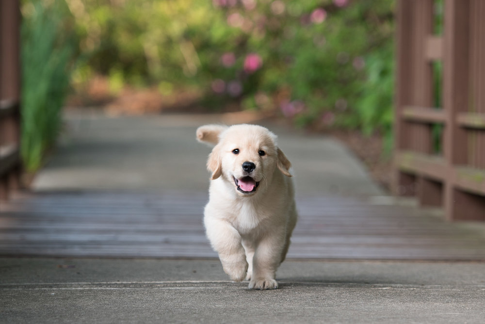south Charlotte puppy photo