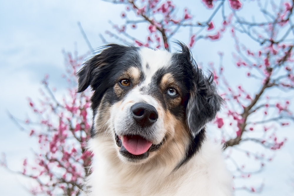 This is my friend's dog Berkeley. He is a gorgeous model and I've had the pleasure of photographing him a few times! More blue sky and peach blossoms behind him.
