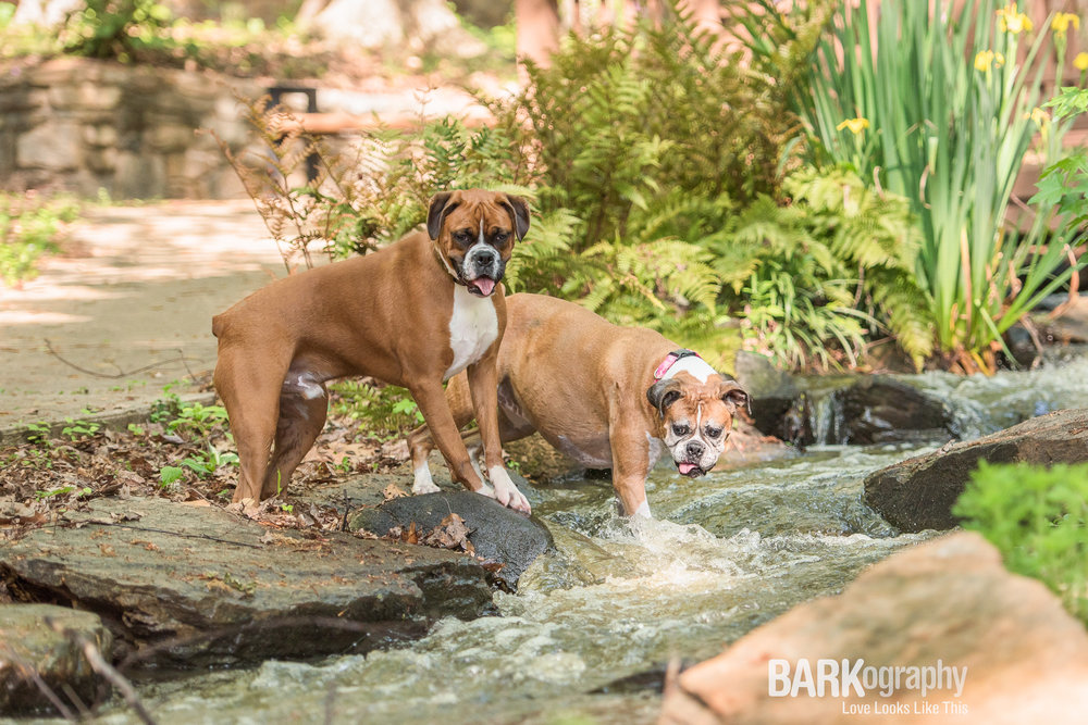 Charlotte NC Dog Photographer.JPG
