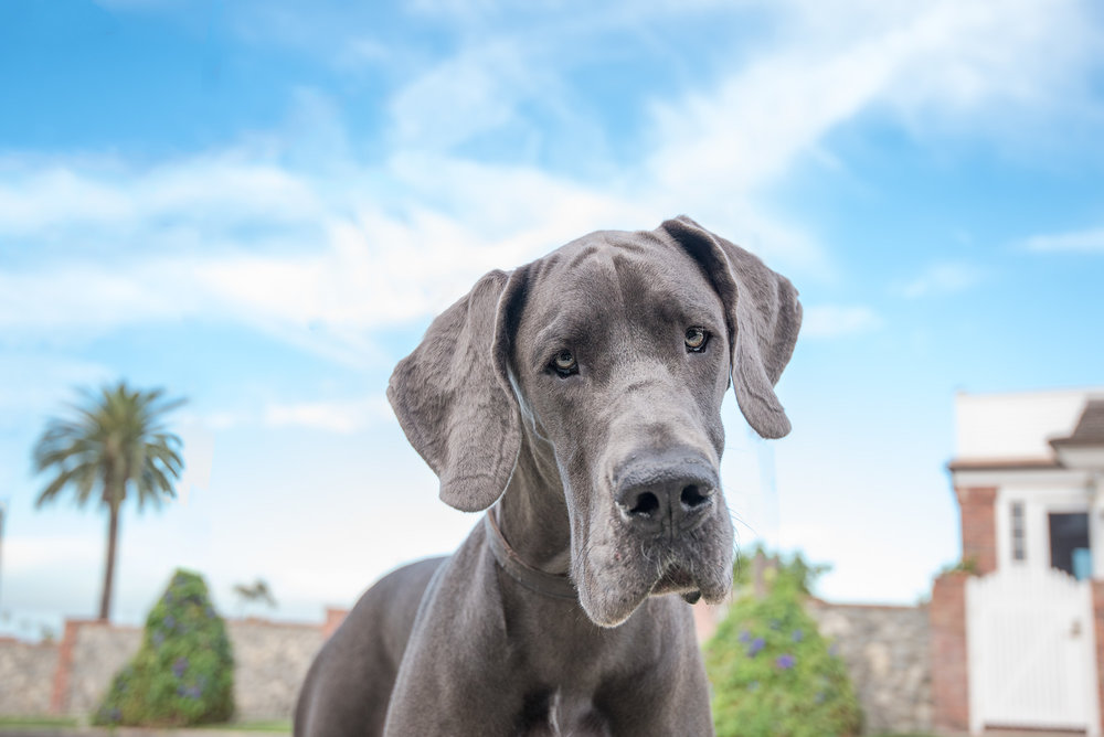 great dane photo.JPG