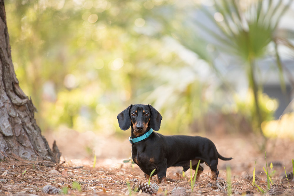 dachshund dog photography.JPG