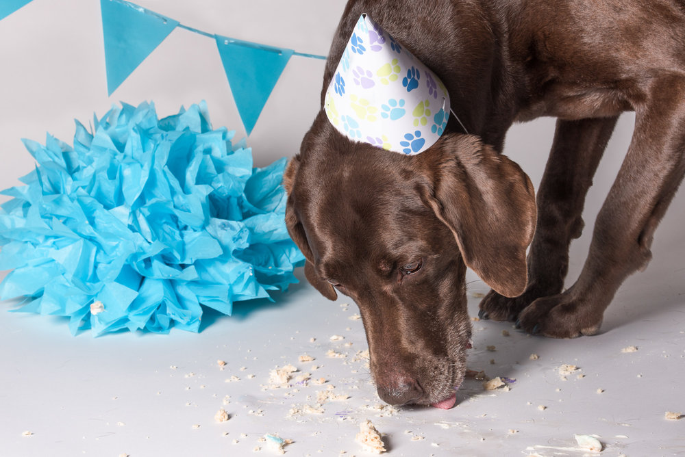 Photographing a dog's birthday party when said dog (my Moose) is extremely food motivated and there is cake involved is hard! LOL! Moose had a great time!
