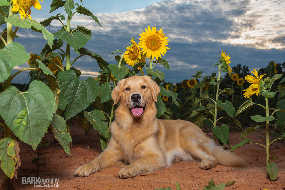 sunset dog photography and sunflowers.JPG