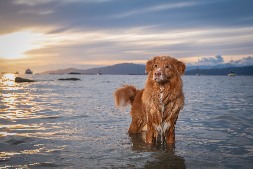 Vancouver sunset dog photography.JPG