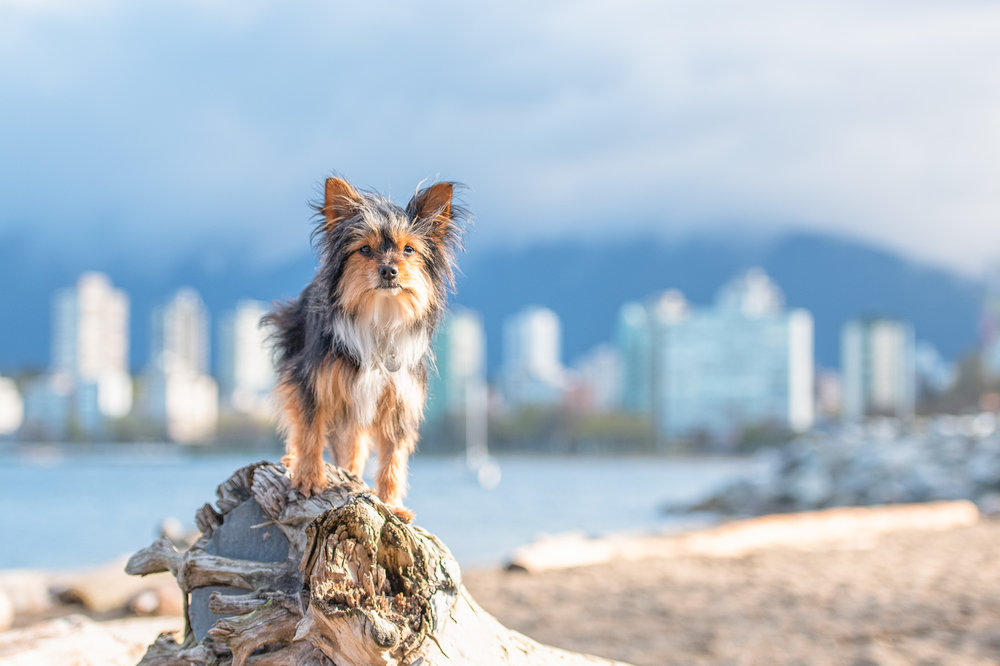 Vancouver waterfront dog photography.JPG