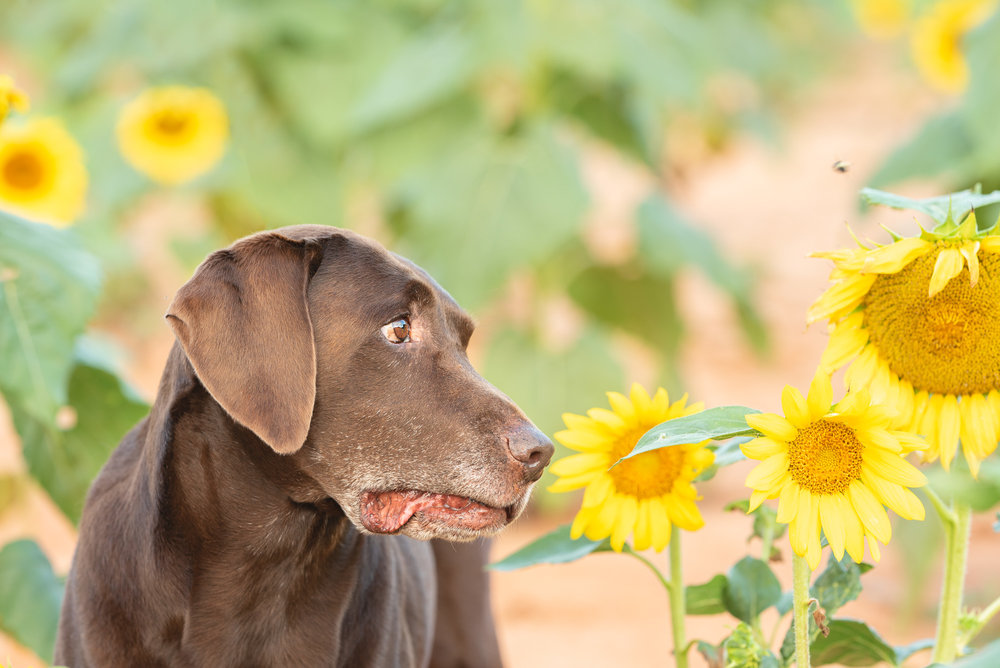 There were bees in the sunflower field. They didn't care about us at all, they were too busy in the flowers but this one caught Moose's attention. LOL! He does make me laugh.