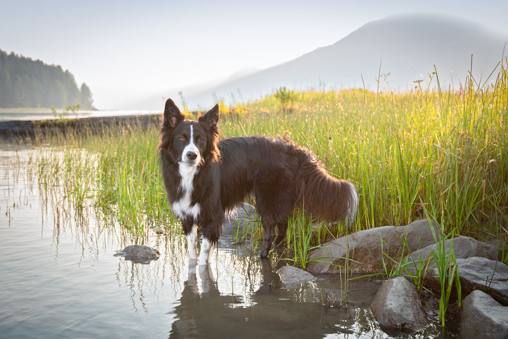 golden hour dog photography British Columbia.JPG