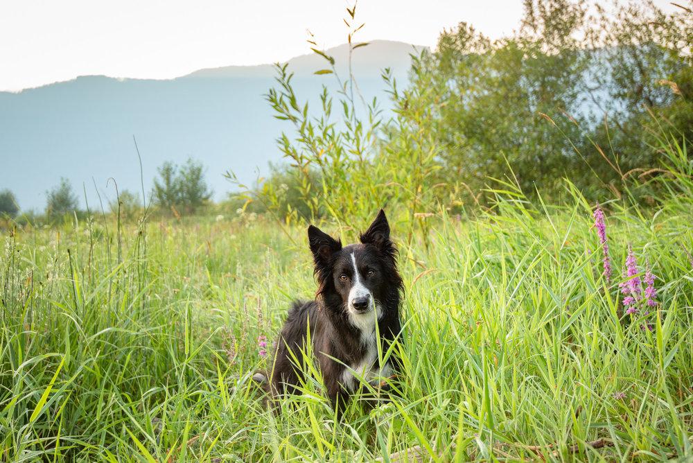 dog photographer British Columbia.JPG