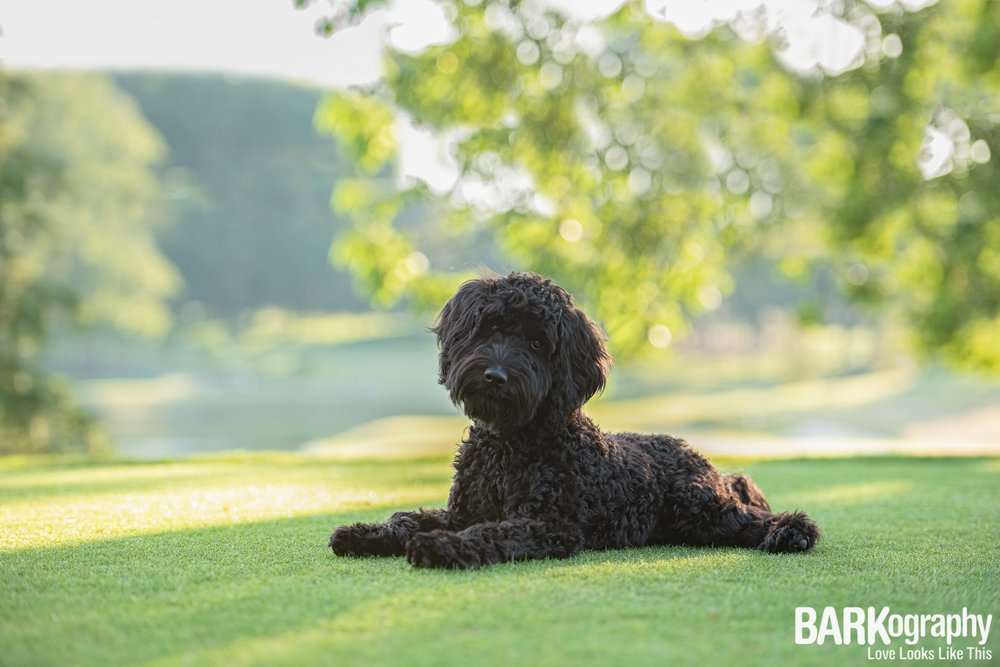 doodle dog photography.JPG