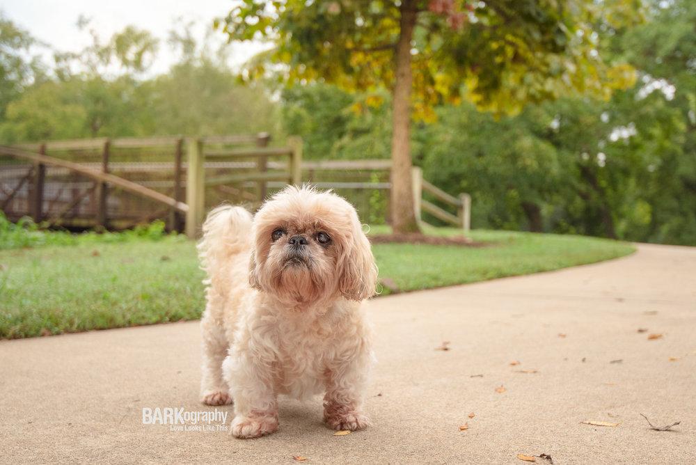 Charlotte senior dog photography.JPG