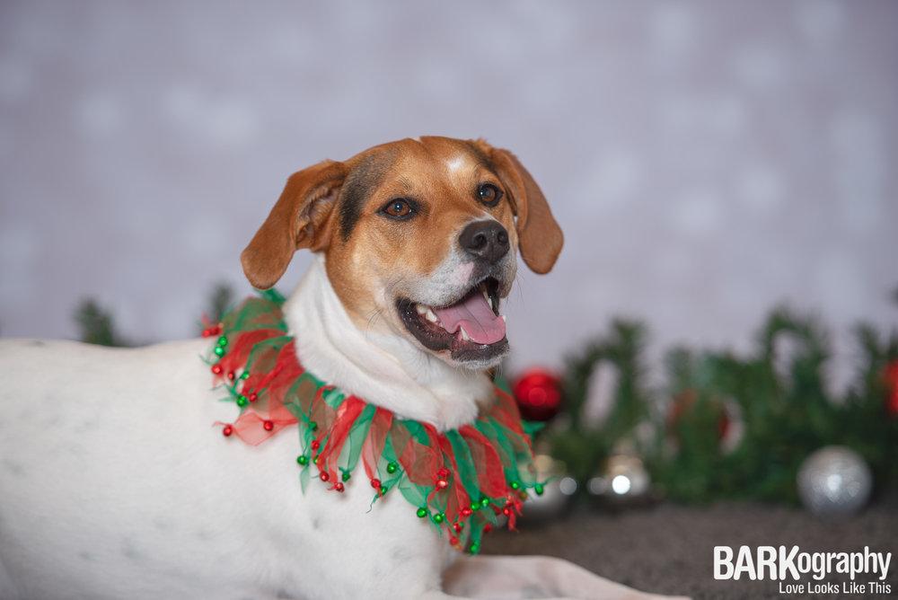 Charlotte NC Holiday Dog Photographer.JPG