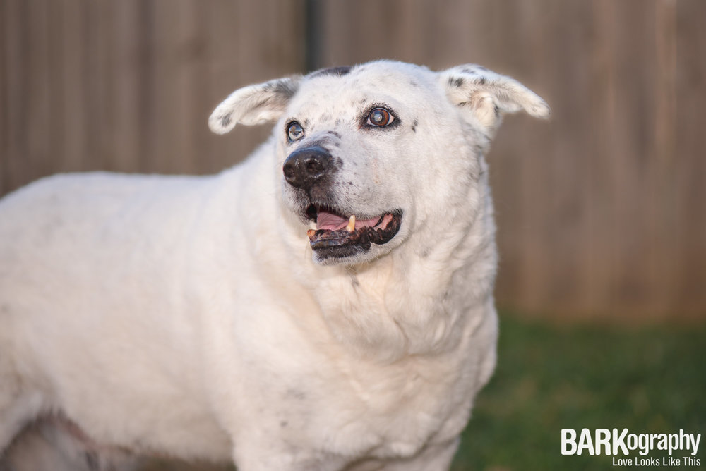 senior dog photo Charlotte NC.JPG