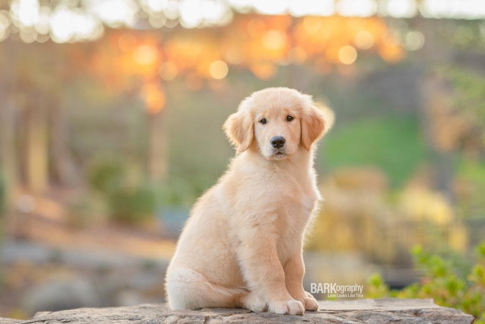Golden Retriever Puppies Charlotte NC.JPG