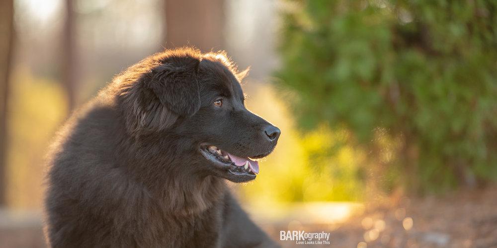 black dog sunset photo Charlotte NC