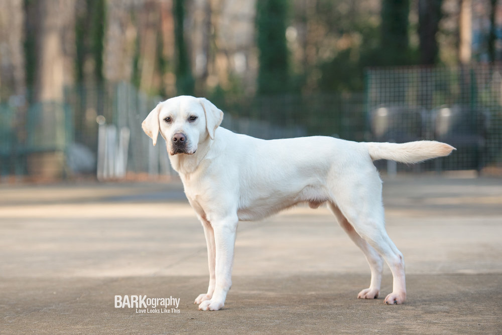 yellow labrador retriever picture stacked service dog in training Charlotte NC