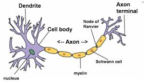 Synapses are at the end of Axon Terminals