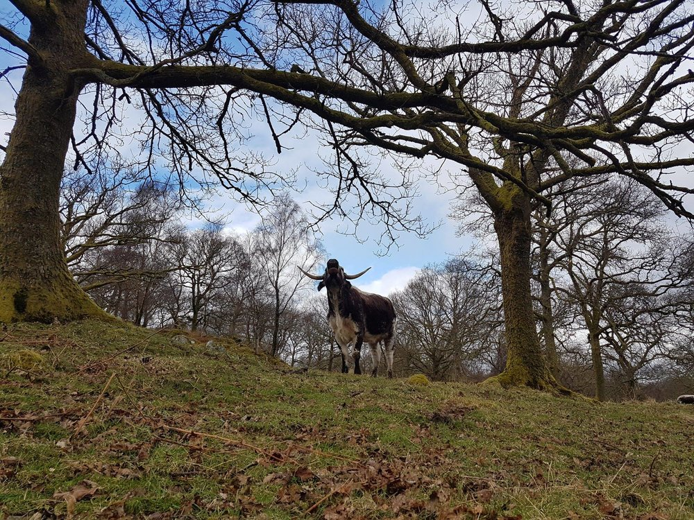 An English longhorn in a habitat it would have evolved in. Photo from The Horned Beef Company.