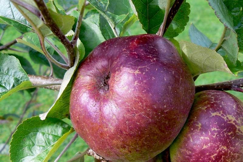 Dabinett cider apple