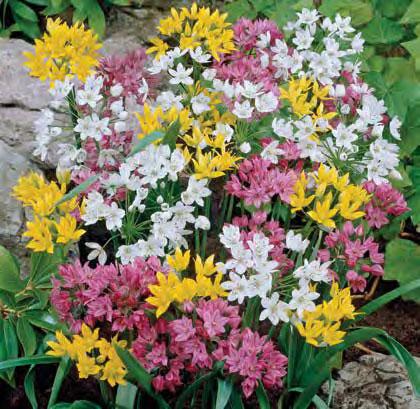 Mixed Rock Garden Allium
