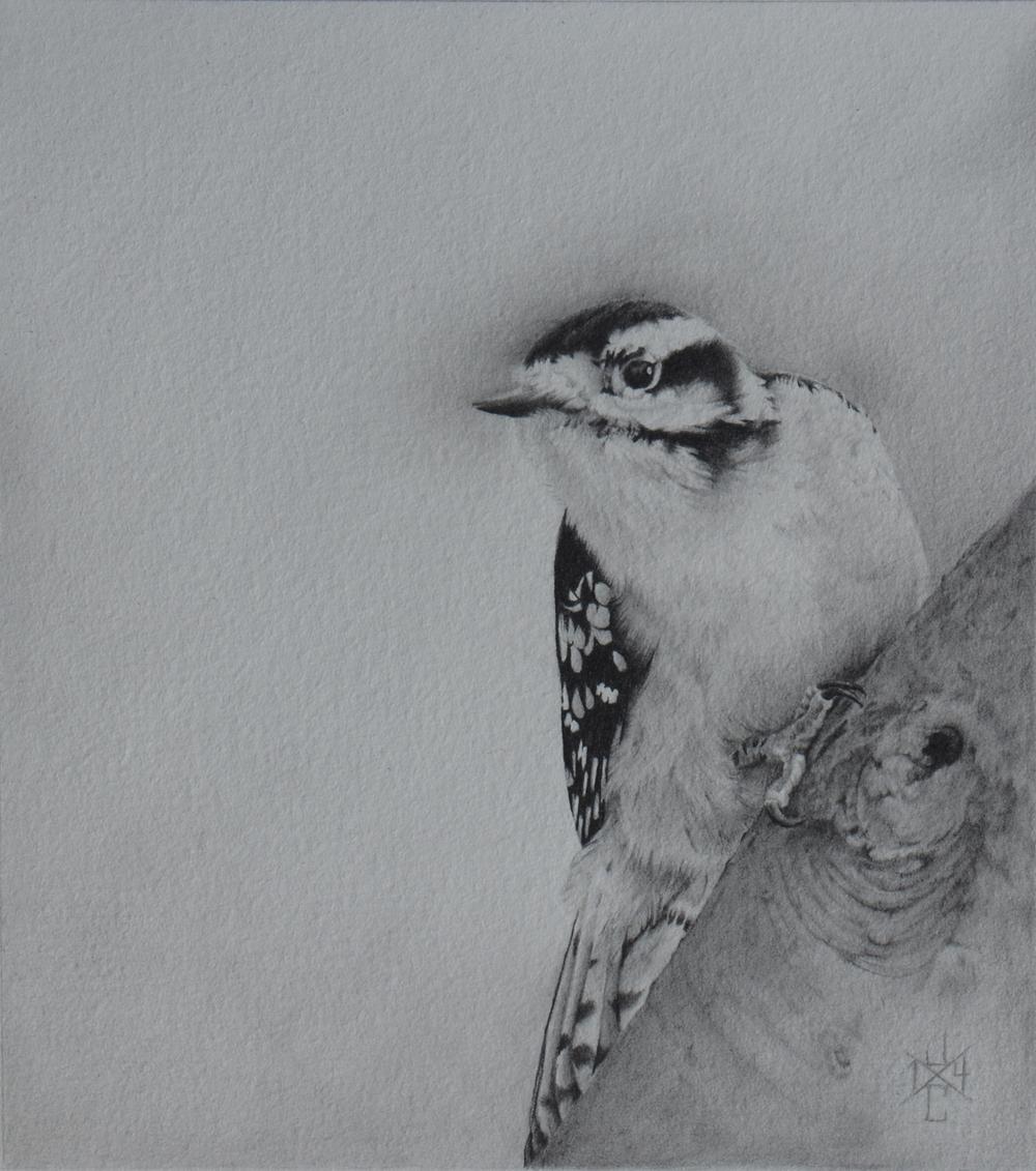 Downy Woodpecker #1